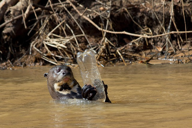 wild-giant-otter-plays-with-plastic-bottle