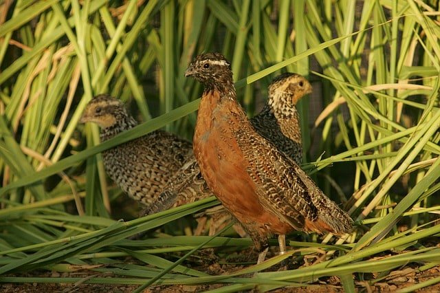 masked-bobwhite-quail-birds-nest-habitat-species