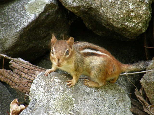 rodent-on-rock-biological-weathering