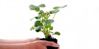 ecological-succession-plant-isolated-human-strawberry