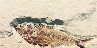 fossil-petrification-stone-fish