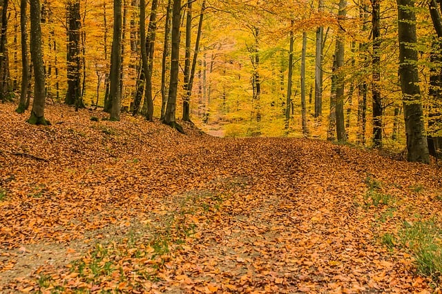 deciduous-forest-beech-wood-trees