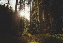 forest-evergreen-conifers-sunset