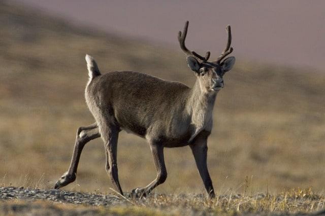 caribou-wildlife-reindeer-mammal