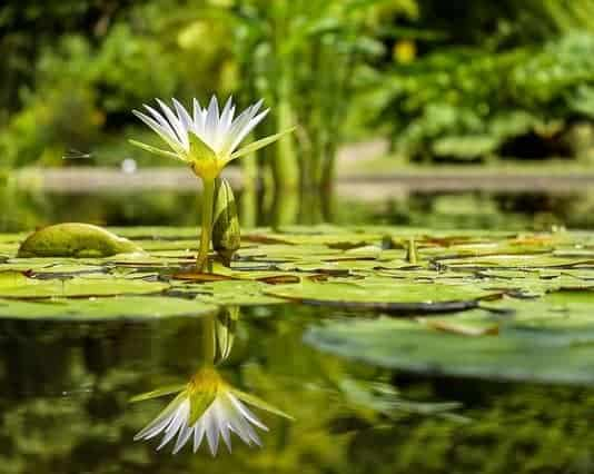 water-lily-flower-flowers-pond