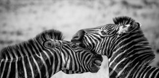 zebra-wildlife-africa-safari-wild