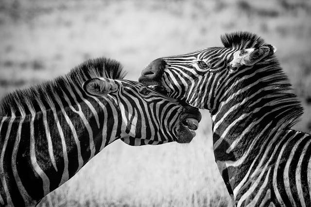zebra-wildlife-africa-safari-wild