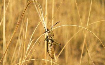 locust-insect-grasshopper-pest