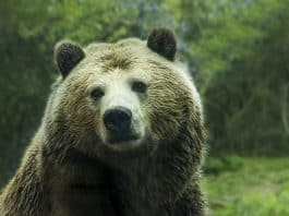 bear-grizzly-bear-grizzly-brown