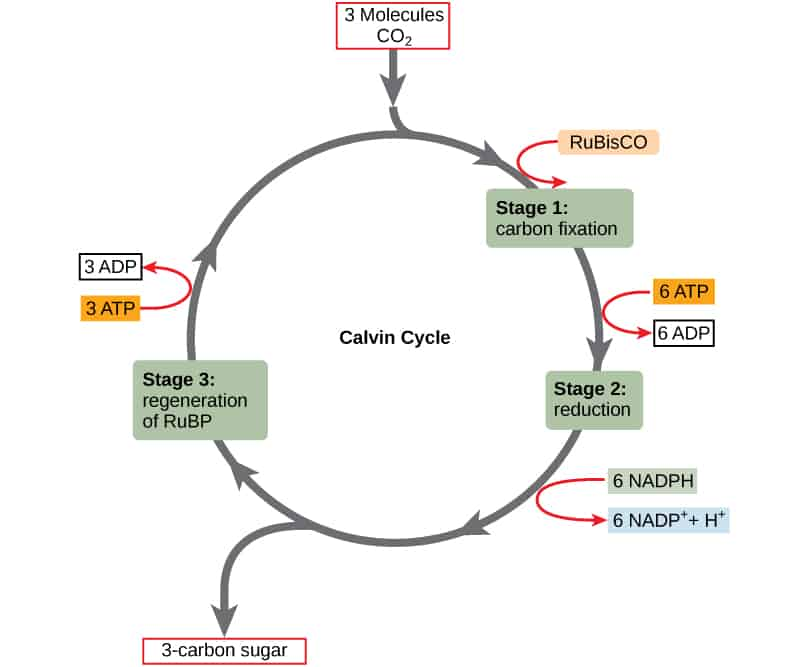 calvin-cycle
