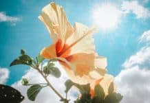 yellow-hibiscus-under-sunlight