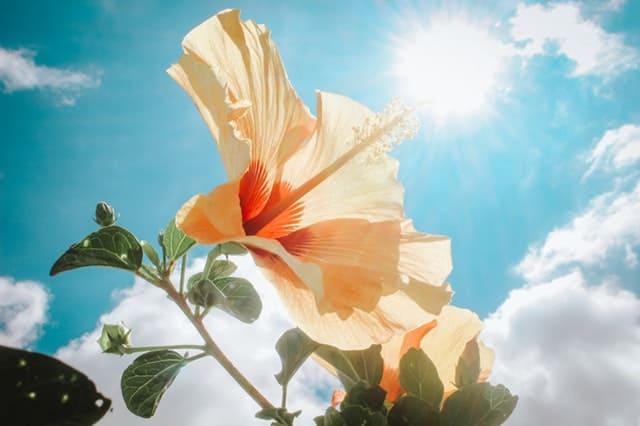 yellow-hibiscus-under-sunlight