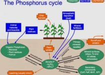 Phosphorus Cycle: Definition, Steps and Interesting Facts