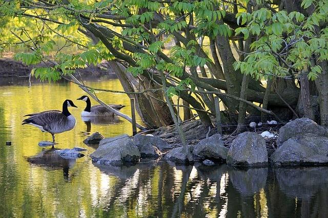 canadian-goose-goose-geese-bird