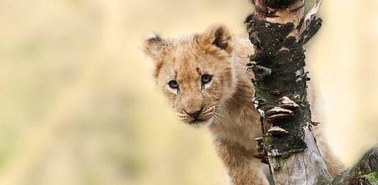 lion-animal-nature-predator