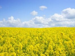 field-of-rapeseeds-oilseed