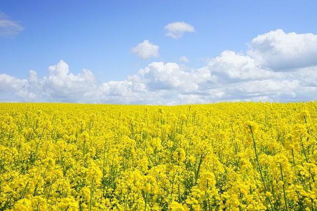 field-of-rapeseeds-oilseed