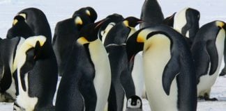 penguins-emperor-penguins-baby