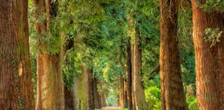 avenue-trees-away-walk-green