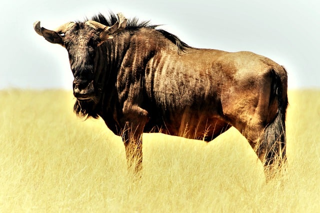 blue-wildebeest-gnu-shaggy-beard
