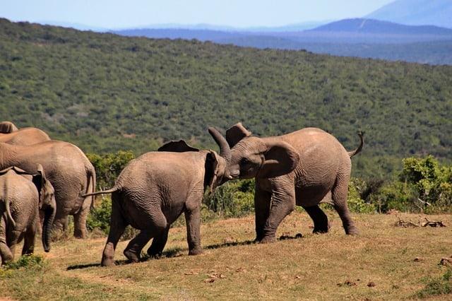 borneo-elephant