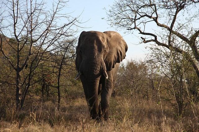 forest-elephant