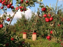 apple-orchard-apple-trees-red