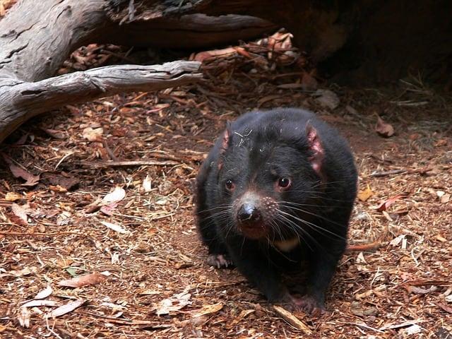 tasmanian-devil-carnivorous
