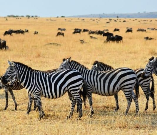 zebra-wildlife