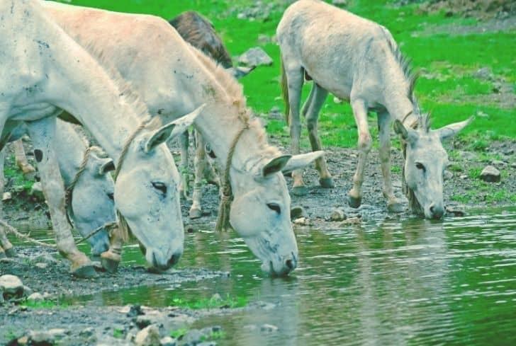 donkeys-drinking-dirty-water