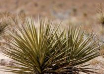 How Does Photosynthesis Take Place in Desert Plants?